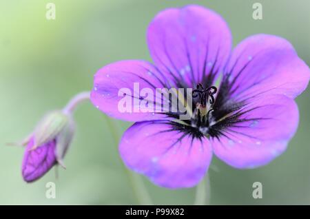 Geranium sanguineum magenta pink purple flower and bud bloom with blurry background - Stock Image