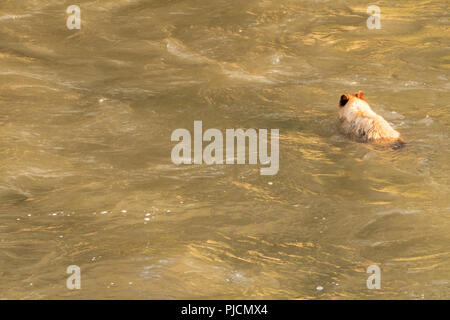 Black Bear Swims Across Wide River with Copy Space to Left - Stock Image