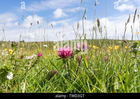 North Pennine Wild Flower Hay Meadow, Upper Teesdale, County Durham, UK - Stock Image