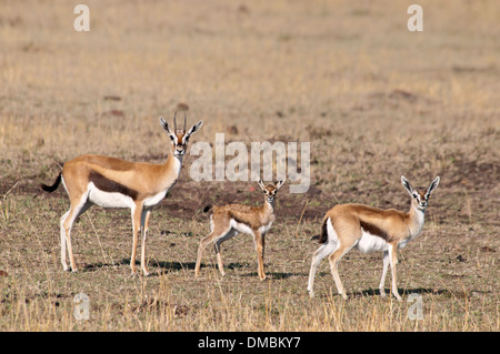 Three Thomson's Gazelles,  Eudorcas thomsonii , looking at the camera in the Masai Mara National Reserve, Kenya, Africa - Stock Image