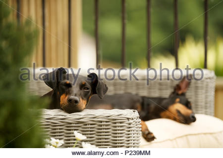 Two pet dogs, Manchester Terriers, lying down relaxing on garden furniture. One, comically, has one eye open and one eye closed. - Stock Image