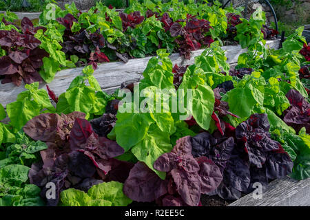 Green and red orach, atripex hortensis, a variety of saltbush related to spinach provide a contrasting colur splash in the vegetable garden. - Stock Image