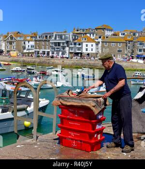 Fisherman moving a seagull away from some fishing crates in St Ives Harbour,Cornwall,England,UK - Stock Image