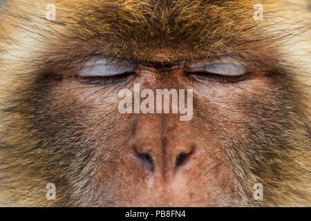 Barbary macaque (Macaca sylvanus) close up portrait, Gibraltar Nature Reserve, Gibraltar - Stock Image