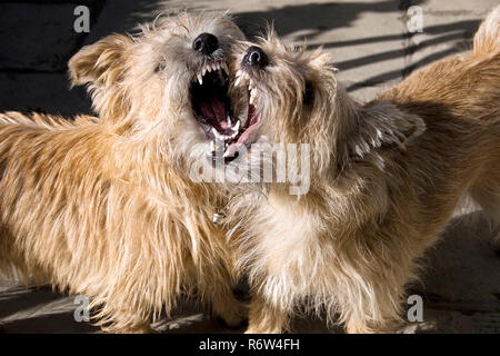 norfolk terrier puppy and adult play fighting - Stock Image
