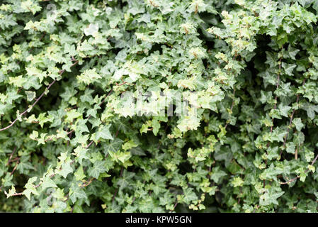 Wild green ivy growing in outdoors in a tangle of climbing vines - Stock Image