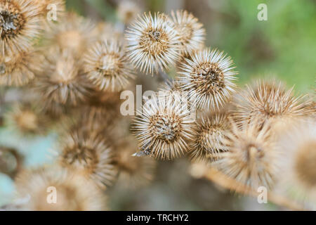 Natural abstract, dry thistles in Hampstead Heath of London - Stock Image