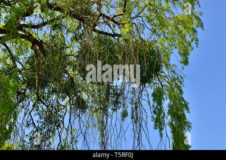 Mistletoe (Viscum album) growing in host tree - Stock Image