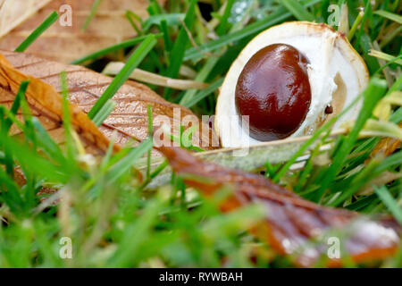 A Horse Chestnut or Conker (aesculus hippocastaneum) left undiscovered on the grass of a public park. - Stock Image