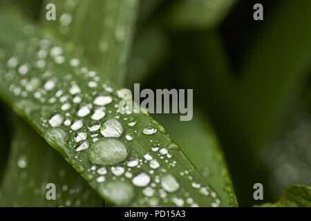 Dew drops after a summer rain, Bowness, Lake District National Park, Cumbria, England, UK - Stock Image