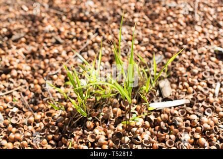 Hakonechloa macra - Japanese Forest Grass - with hazelnut shell ground cover, at the Oregon Garden in Silverton, Oregon, USA. - Stock Image