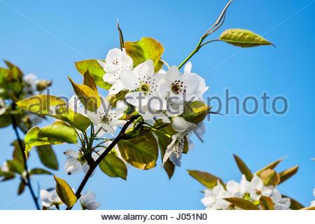 Blossoms of Pyrus pyrifolia kumoi, or Nashi, a pear tree species native to China, Taiwan, Japan, and Korea. - Stock Image