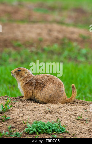 Female Gunnison's prairie dog (Cynomys gunnisoni), Castle Rock Colorado US. Photo taken in May. - Stock Image