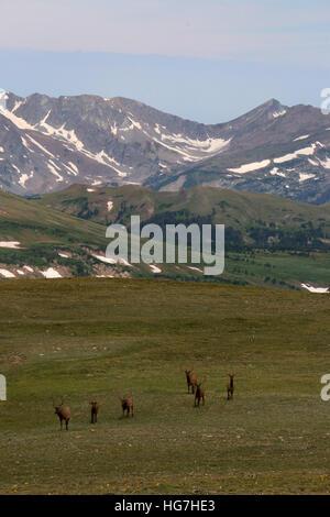 Bull elk on tundra Rocky Mountain National Park Colorado - Stock Image