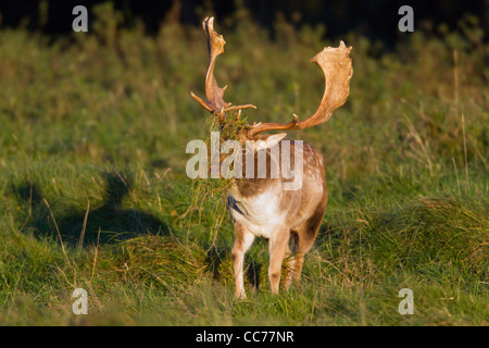 Fallow Deer (Dama dama), Buck with grass on antlers during the Rut, Royal Deer Park, Klampenborg, Copenhagen, Sjaelland, - Stock Image