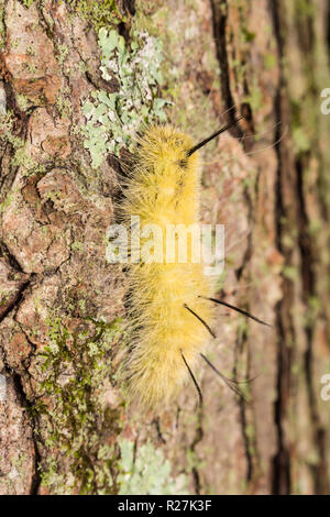 An American Dagger Moth (Acronicta americana) caterpillar (larva) perches on the side of a tree. - Stock Image