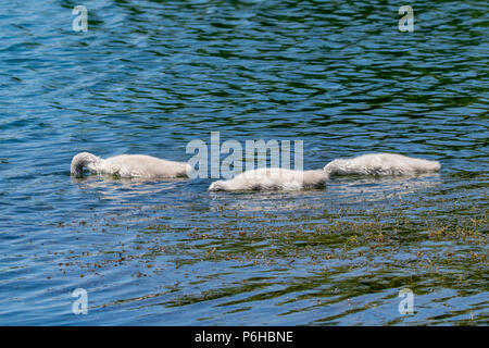 Three bundles of fluff with heads beneath the surface of the water, young mute cygnet swan ducklings searching for food - Stock Image