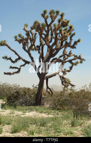 Joshua tree in the Mohave Desert ecosystem of Big Rock Creek Wildlife Sanctuary, California. Digital photograph - Stock Image