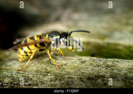 Common wasp (Vespula vulgaris) on wood. - Stock Image