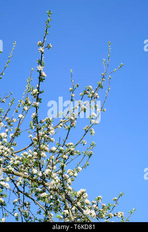 white and pink blossom growing on an apple tree malus pumila in an overgrown garden zala county hungary - Stock Image