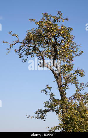 Pear with fruits, Additional-Rights-Clearance-Info-Not-Available - Stock Image