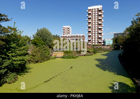 Duckweed and algae on the Regents canal near Limehouse basin, with Anglia House and Darnley House in the background, London, UK - Stock Image