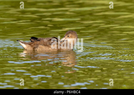 Juvenile moorhen duckling preening feathers - Stock Image