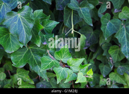 Green ivy foliage with different sized leaves, Hedera. - Stock Image