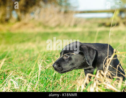 Young, ten week old, Black Labrador  puppy on one his first outings - Stock Image
