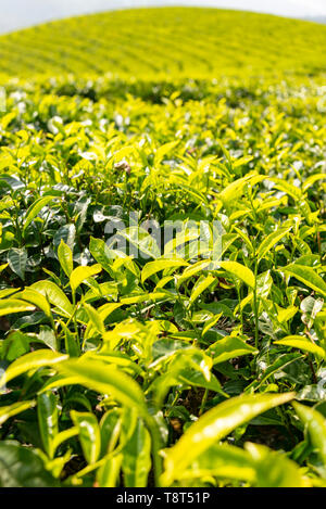 Vertical close up of tea growing on a plantation in Munnar, India. - Stock Image