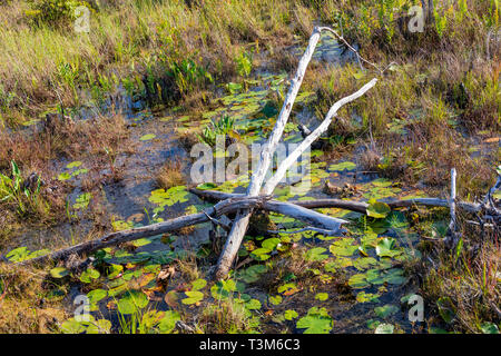 An arrangement of small dead trees and limbs among lily pads in a shallow swamp area of the Okefenokee swamp. - Stock Image