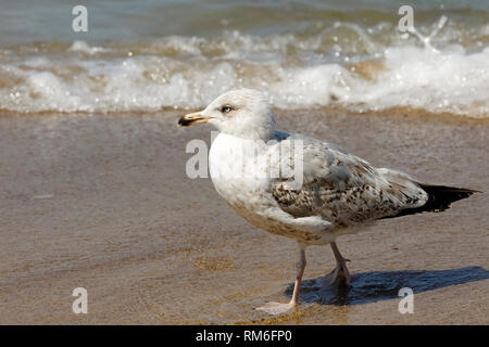 Wild birds are a frequent visitor to the beaches of the Baltic Sea. Here seagull was observed in Kolobrzeg, Poland. - Stock Image