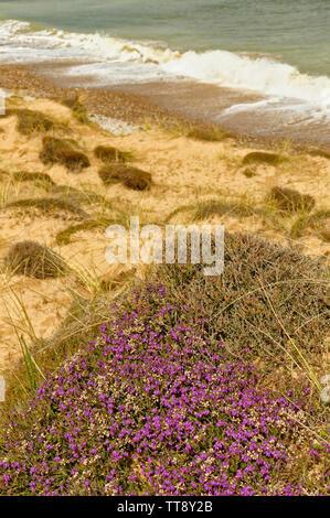 FINDHORN MORAY COAST SCOTLAND PURPLE FLOWERS OF BELL HEATHER ERICA CINEREA GROWING ON A SAND DUNE NEAR THE SEA - Stock Image