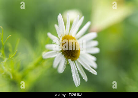 A close up of a single daisy flower on a green background - Stock Image