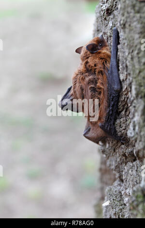 Pipistrelle (Pipistrellus pipistrellus) climbing on an oak tree, Middle Elbe Biosphere Reserve, Saxony-Anhalt, Germany - Stock Image
