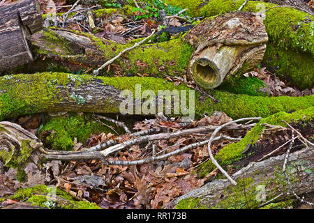 Moss covered logs, branches and leaves provide a shelter for small mammals & insects. - Stock Image