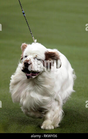 New York, USA. 12th Feb 2019. Westminster Dog Show - New York City, 12 February, 2019:  A Clumber Spaniel during judging of the Sporting Group at the 143rd Annual Westminster Dog Show, Tuesday evening at Madison Square Garden in New York City. Credit: Adam Stoltman/Alamy Live News - Stock Image