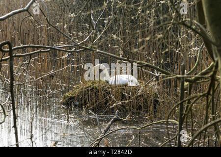 Mute swan on nest through reeds - Stock Image