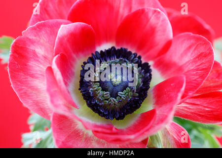 close up center of red anemone flower still life - fresh and contemporary  Jane Ann Butler Photography JABP1807 - Stock Image