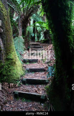 Walking trail amongst forest of tall tree ferns (Dicksonia antarctica), Notley Fern Gorge State Reserve, near Launceston, Tasmania, Australia - Stock Image