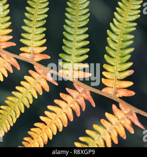 Detail of a Bracken frond with autumn colours setting in - Stock Image
