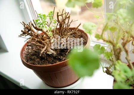 fresh new spring sprouts of potted fuchsia flower on windowsill - Stock Image