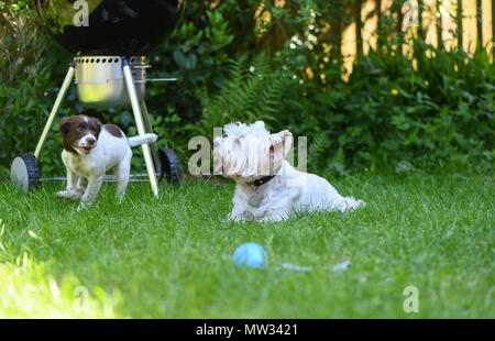 A west highland terrier helps socialise a English springer spaniel puppy dogby playing in the garden. - Stock Image