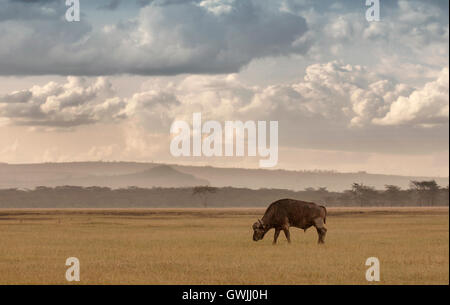 A lone water buffalo in the African Savannah. Lake Nakuru, Kenya. - Stock Image