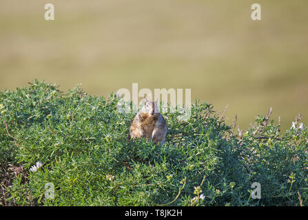 Ground Squirrel Sitting in Top of Bush - Stock Image