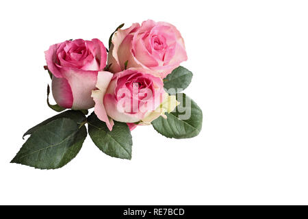 Three beautiful pink and white rose flowers with leaves isolated over a white background with clipping path included. - Stock Image