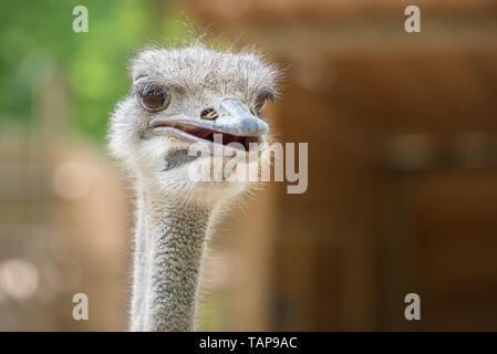 Ostrich Close up portrait with neck, Close up ostrich head against dark background. Struthio camelus. - Stock Image