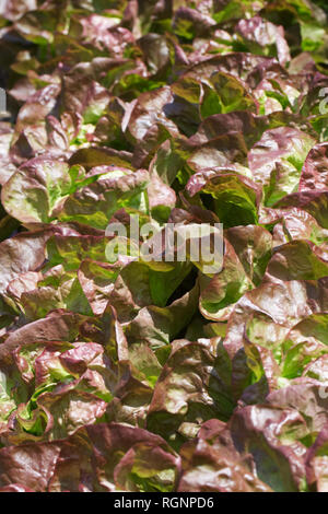 Lactuca sativa. Lettuce 'Marvel of Four Seasons' . - Stock Image