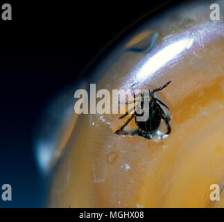 Macro shot of the deadly parasite American Dog Tick Dermacentor variabilis Trapped in a plastic bottle - Stock Image