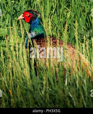 A male, or cock pheasant (Phasianus colchicus) in grass on an early spring morning - Stock Image